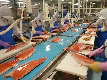 Ứng dụng băng tải phi lê cá vào chế biến thực phẩm